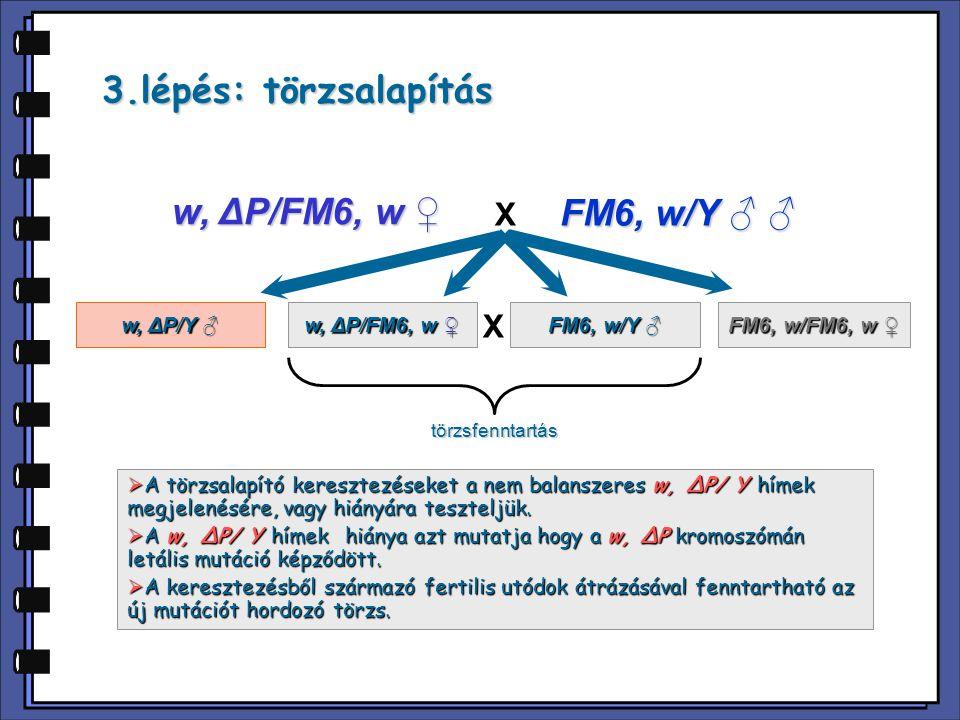 3.lépés: törzsalapítás w, ΔP/FM6, w ♀ FM6, w/Y ♂ ♂ X X w, ΔP/Y ♂