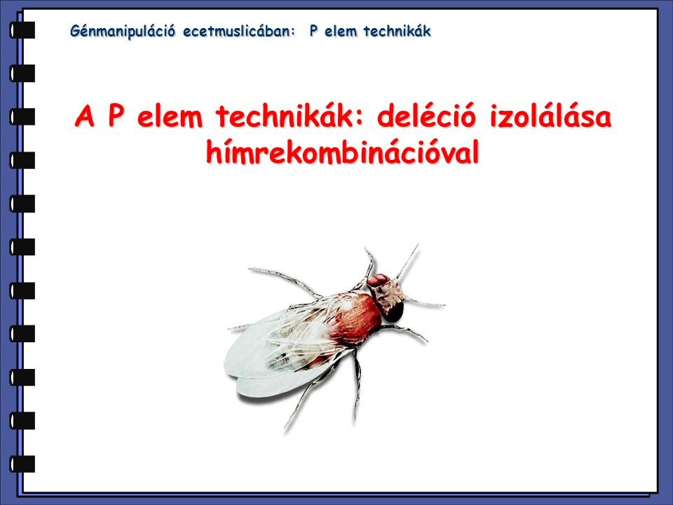 A P elem technikák: deléció izolálása hímrekombinációval