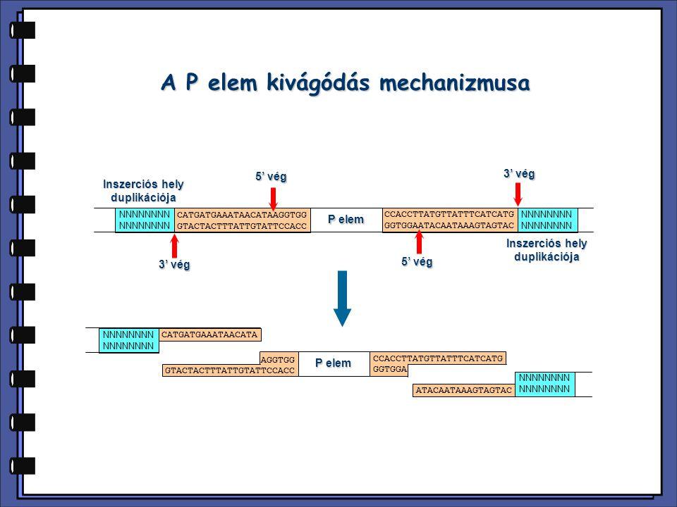 A P elem kivágódás mechanizmusa