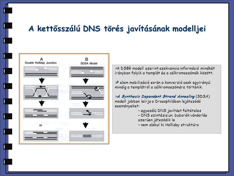 A kettősszálú DNS törés javításának modelljei