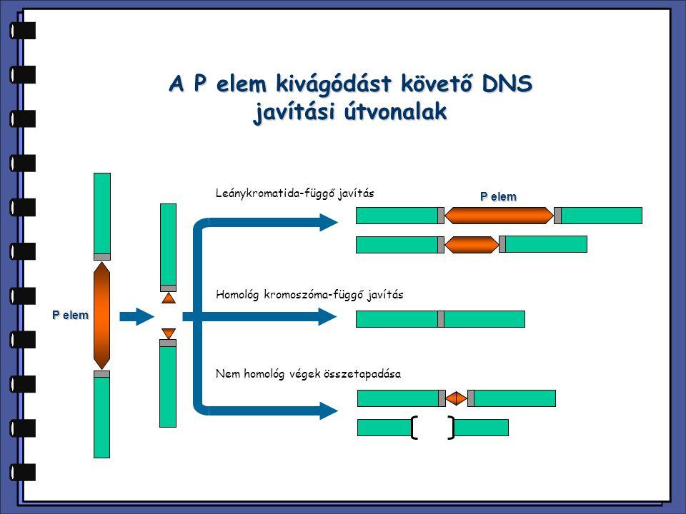 A P elem kivágódást követő DNS javítási útvonalak