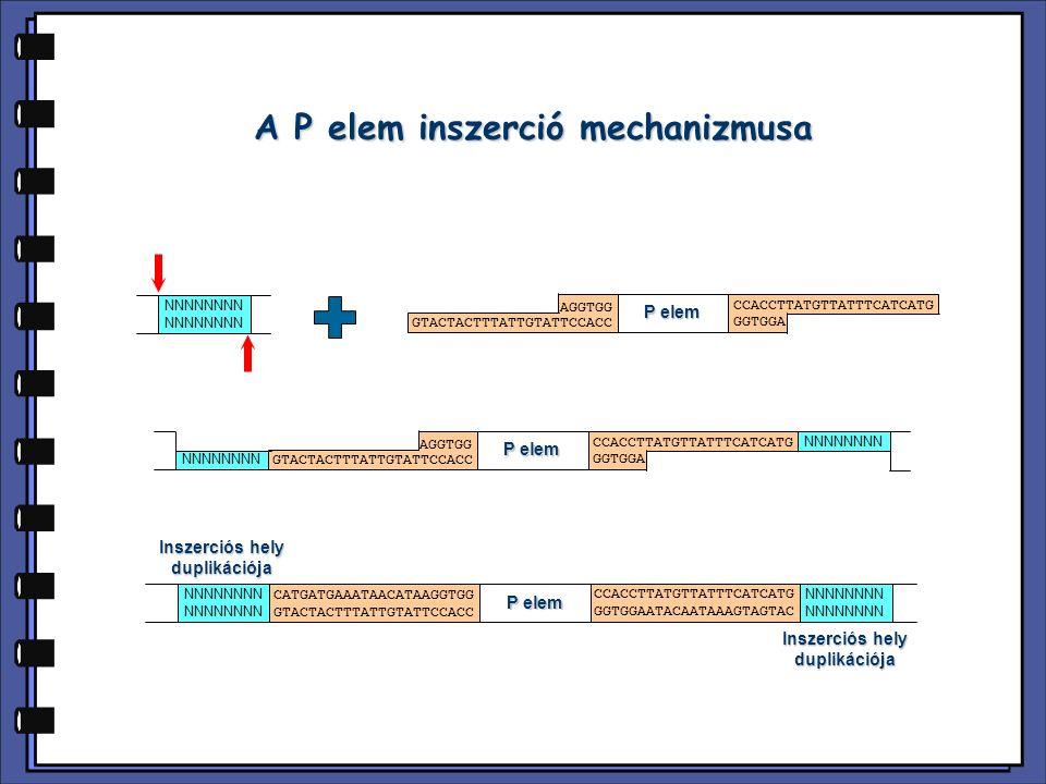 A P elem inszerció mechanizmusa