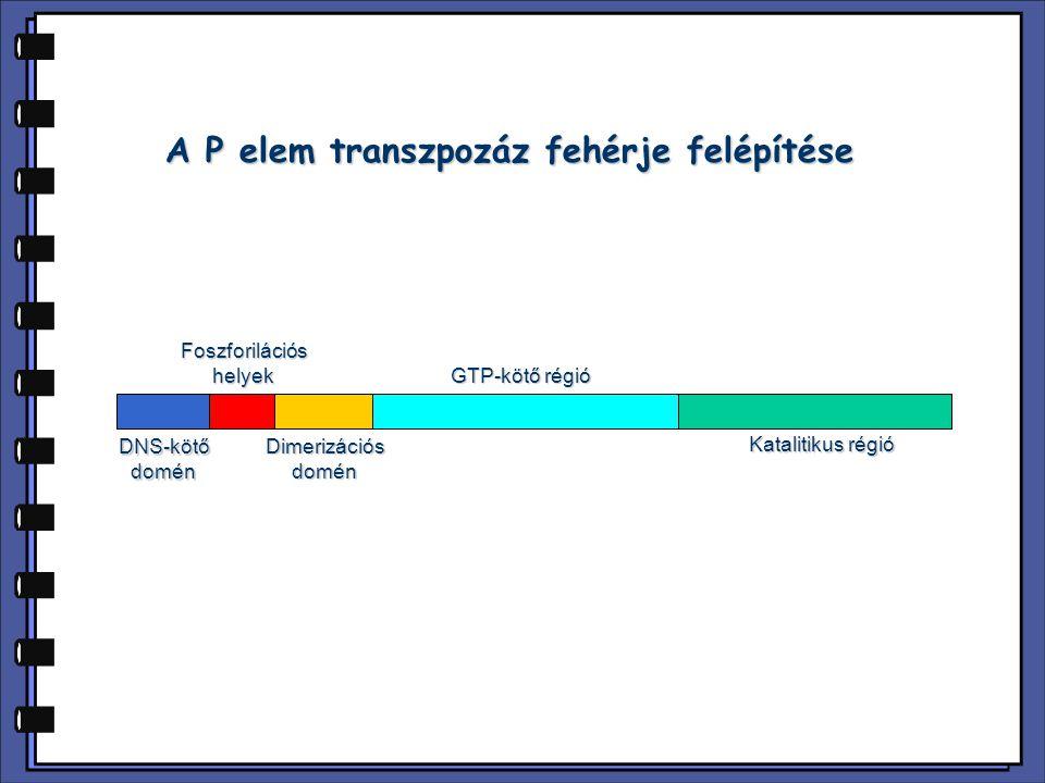 A P elem transzpozáz fehérje felépítése