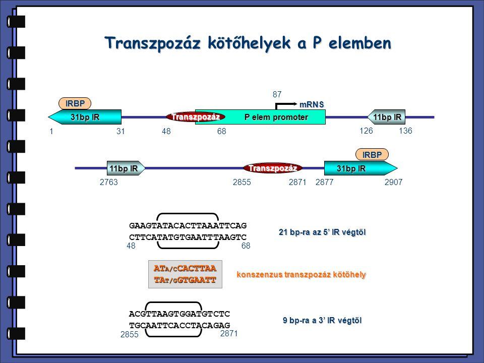 Transzpozáz kötőhelyek a P elemben konszenzus transzpozáz kötőhely