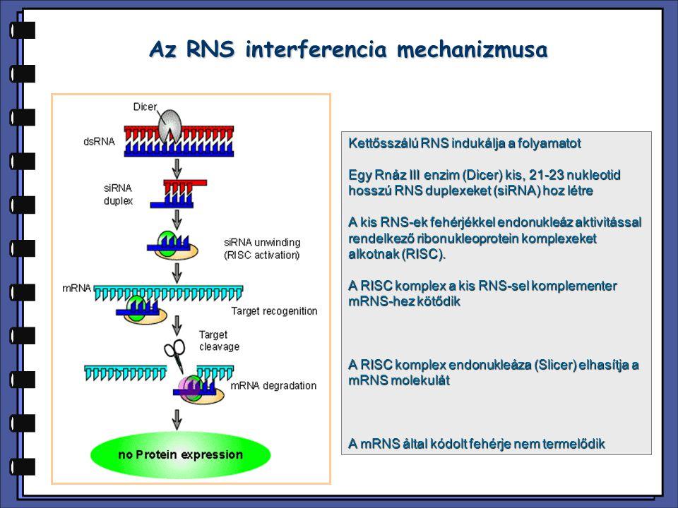 Az RNS interferencia mechanizmusa