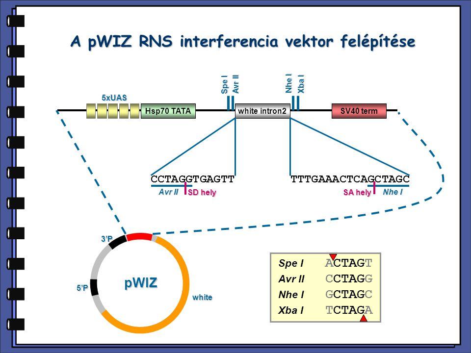 A pWIZ RNS interferencia vektor felépítése