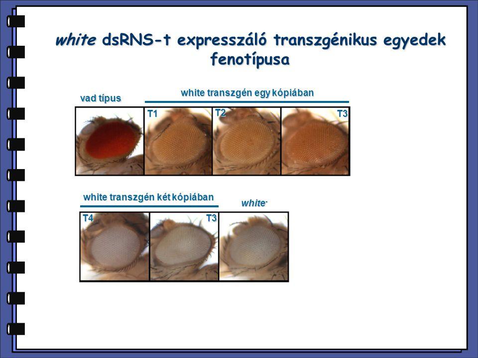 white dsRNS-t expresszáló transzgénikus egyedek fenotípusa
