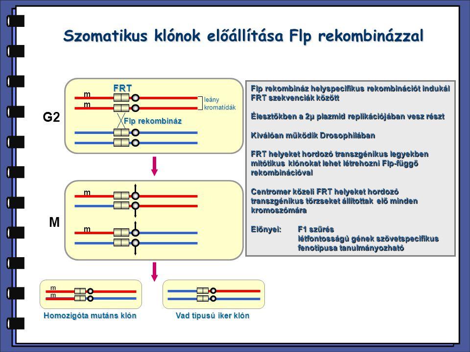 Szomatikus klónok előállítása Flp rekombinázzal