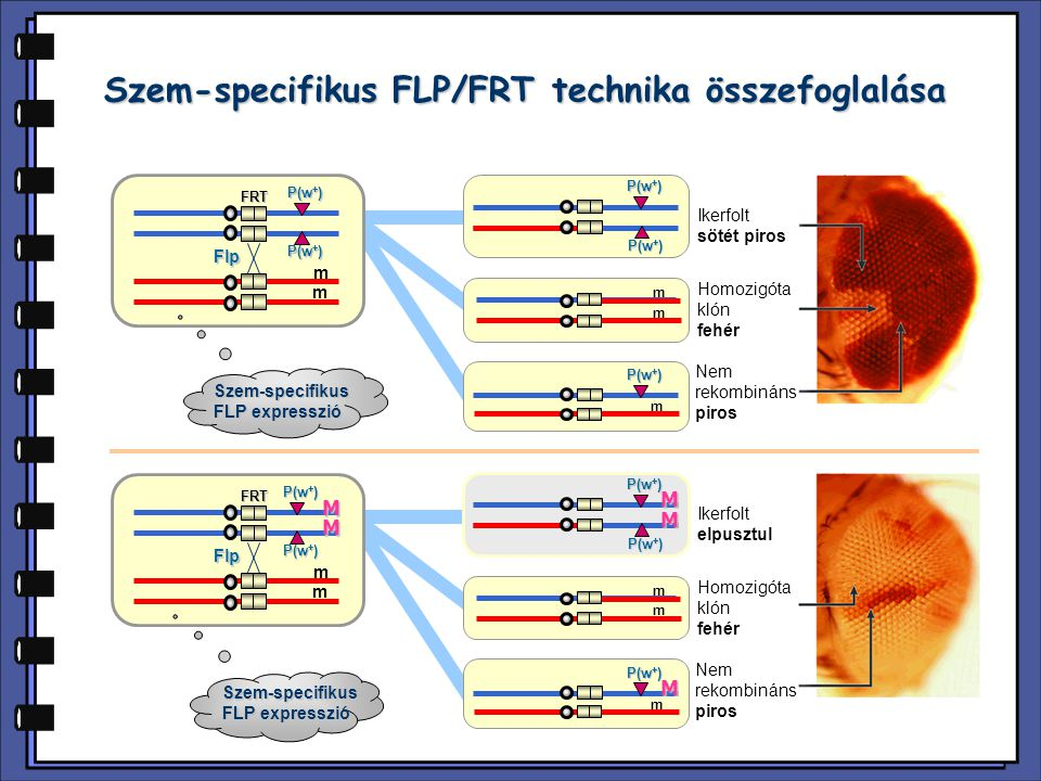 Szem-specifikus FLP/FRT technika összefoglalása