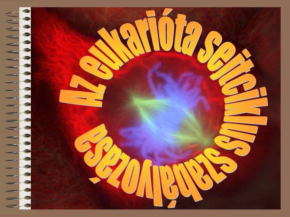 Az eukarióta sejtciklus szabályozása