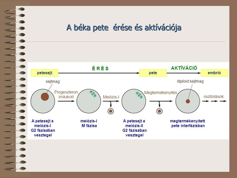 A petesejt a meiózis-II
