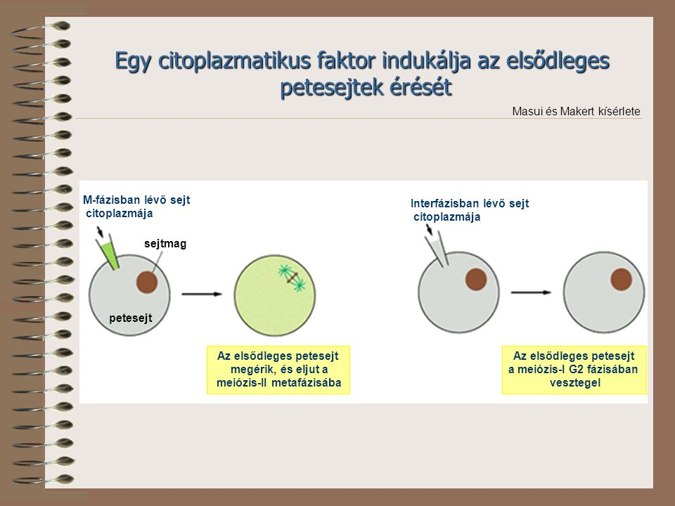 Egy citoplazmatikus faktor indukálja az elsődleges petesejtek érését