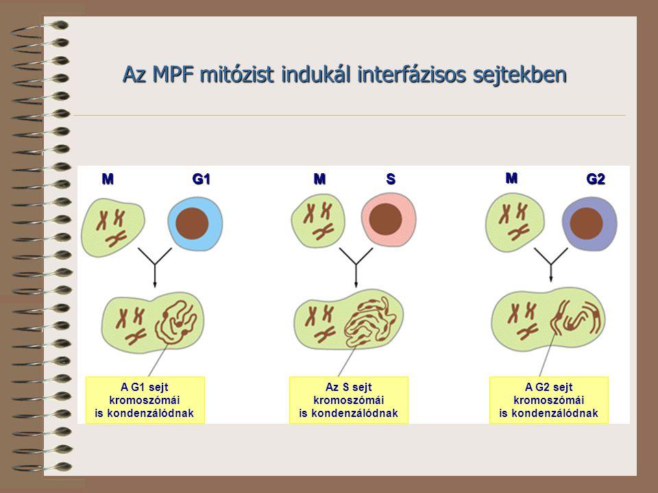 Az MPF mitózist indukál interfázisos sejtekben