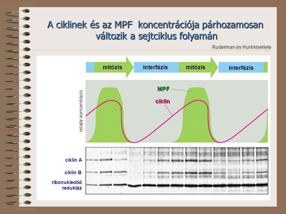 A ciklinek és az MPF koncentrációja párhozamosan