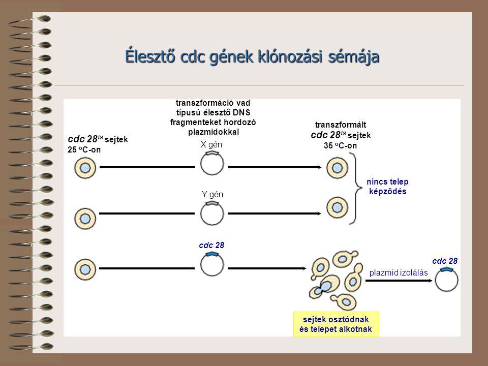 Élesztő cdc gének klónozási sémája