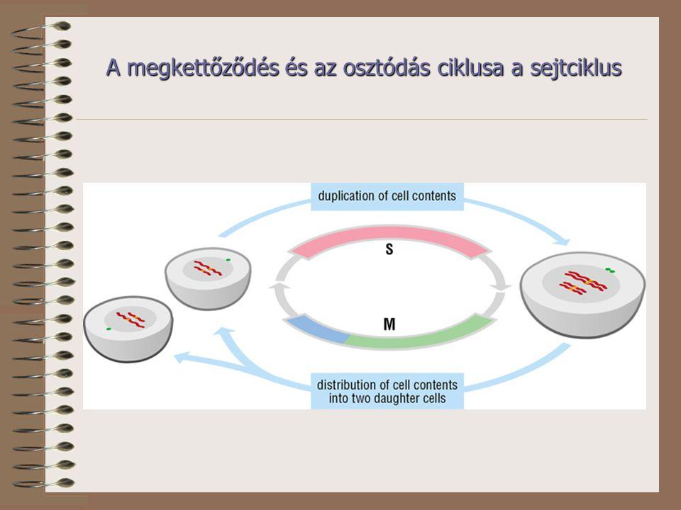 A megkettőződés és az osztódás ciklusa a sejtciklus