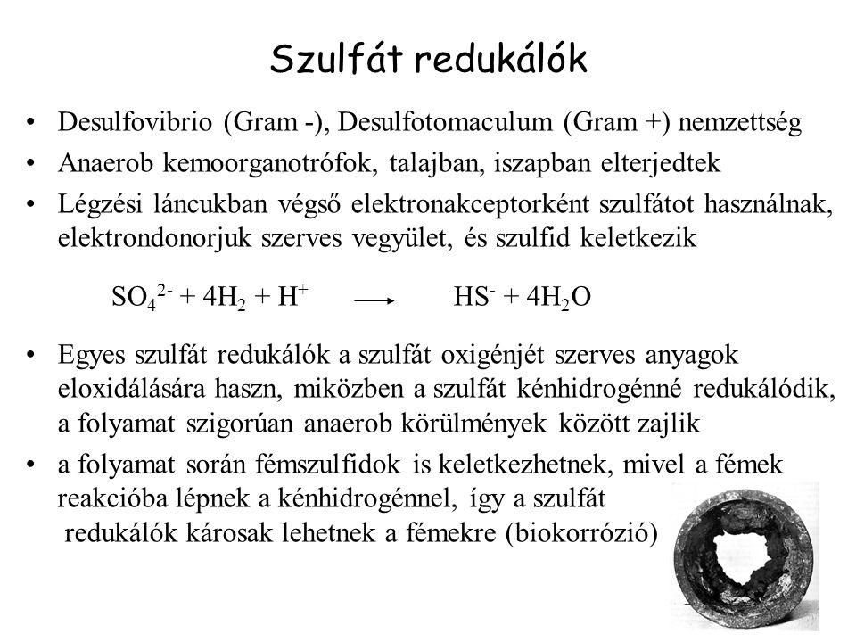 Szulfát redukálók Desulfovibrio (Gram -), Desulfotomaculum (Gram +) nemzettség. Anaerob kemoorganotrófok, talajban, iszapban elterjedtek.