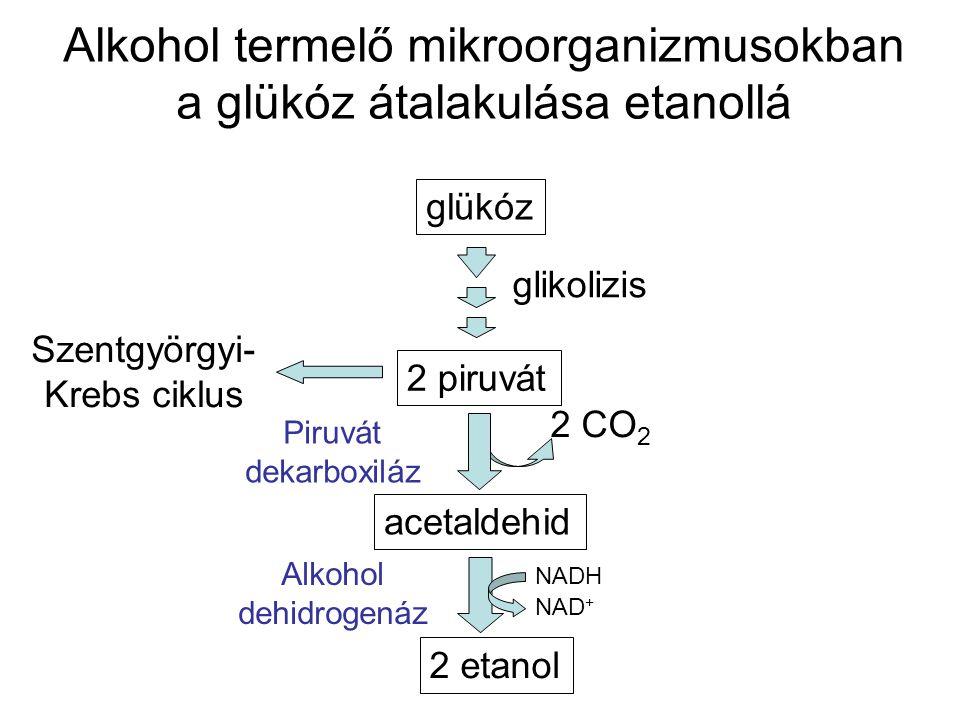 Alkohol termelő mikroorganizmusokban a glükóz átalakulása etanollá