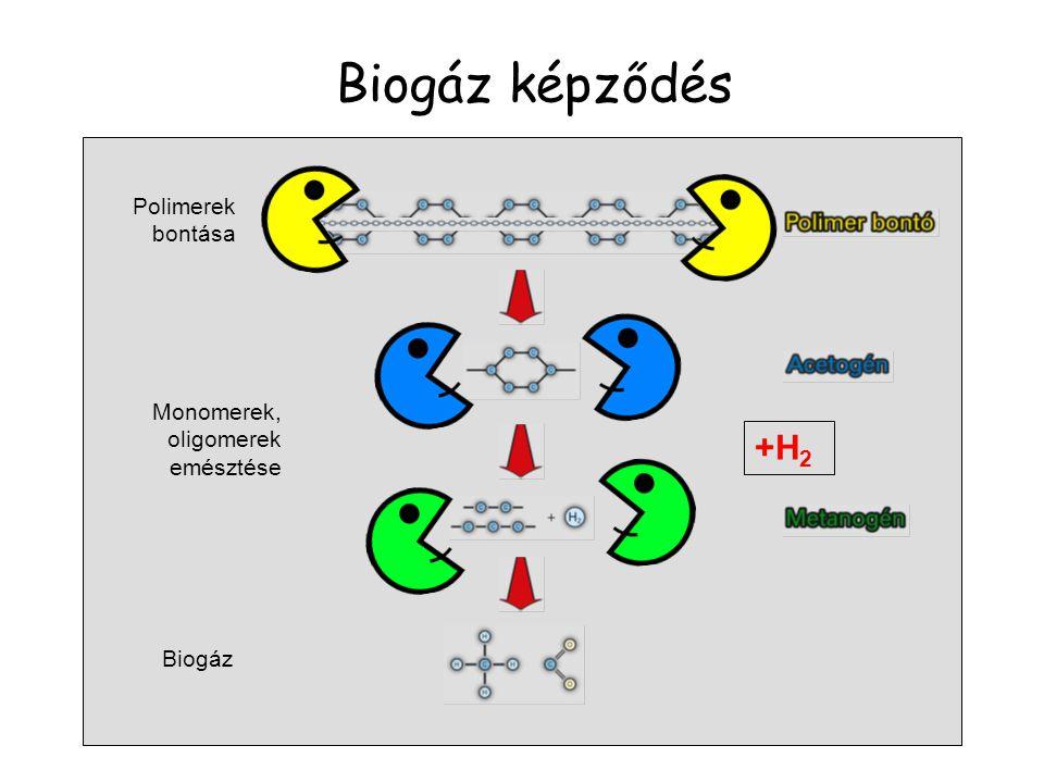 Biogáz képződés +H2 Polimerek bontása Monomerek, oligomerek emésztése