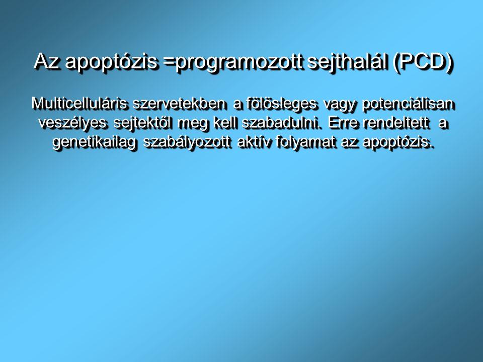 Az apoptózis =programozott sejthalál (PCD)