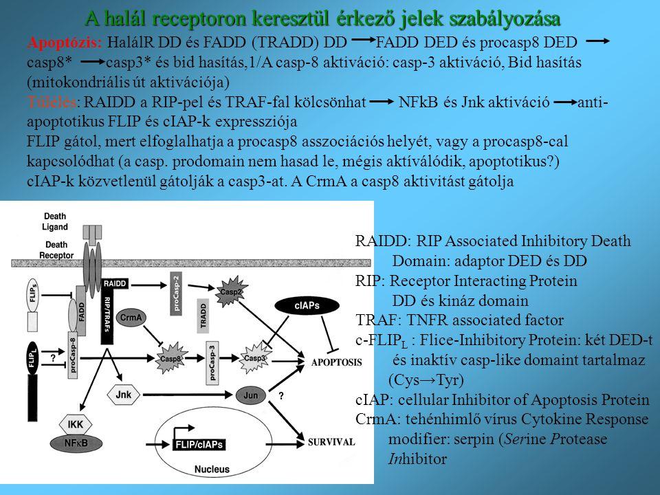 A halál receptoron keresztül érkező jelek szabályozása