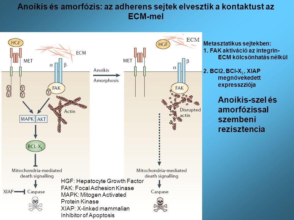 Anoikis-szel és amorfózissal szembeni rezisztencia