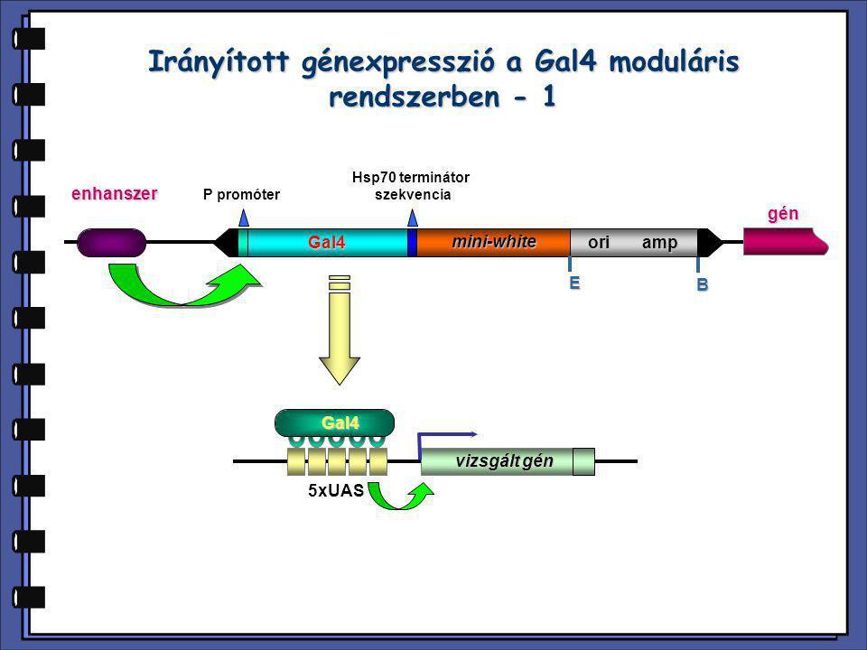 Irányított génexpresszió a Gal4 moduláris rendszerben - 1
