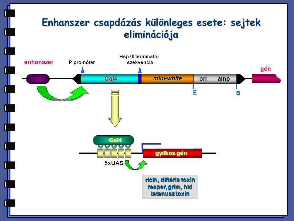 Enhanszer csapdázás különleges esete: sejtek eliminációja