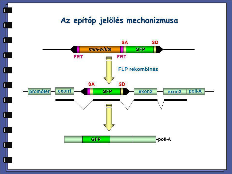 Az epitóp jelölés mechanizmusa