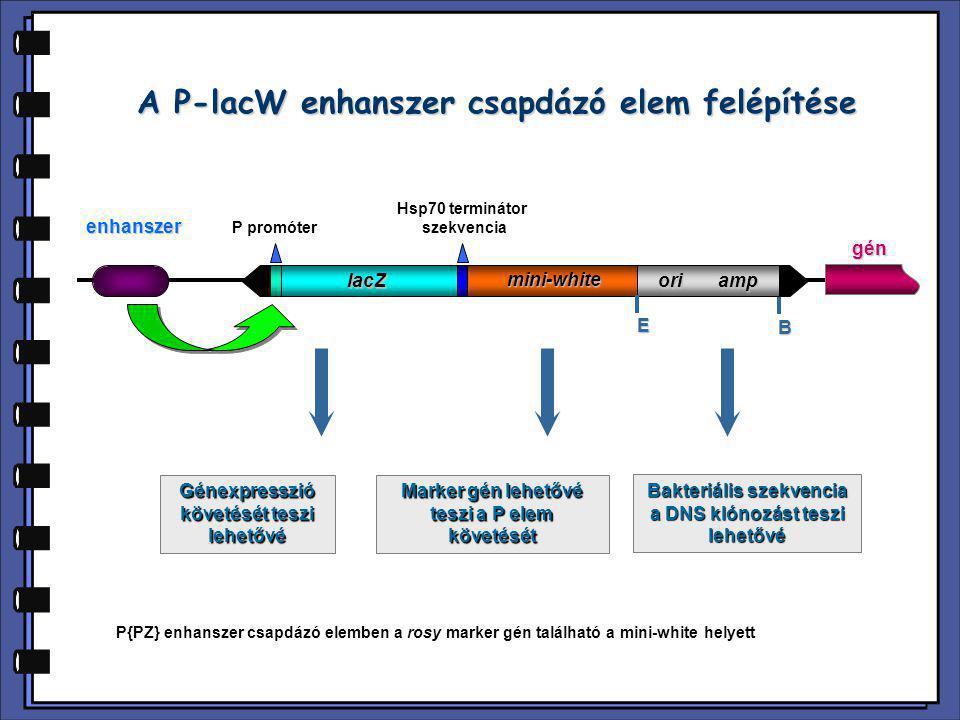 A P-lacW enhanszer csapdázó elem felépítése