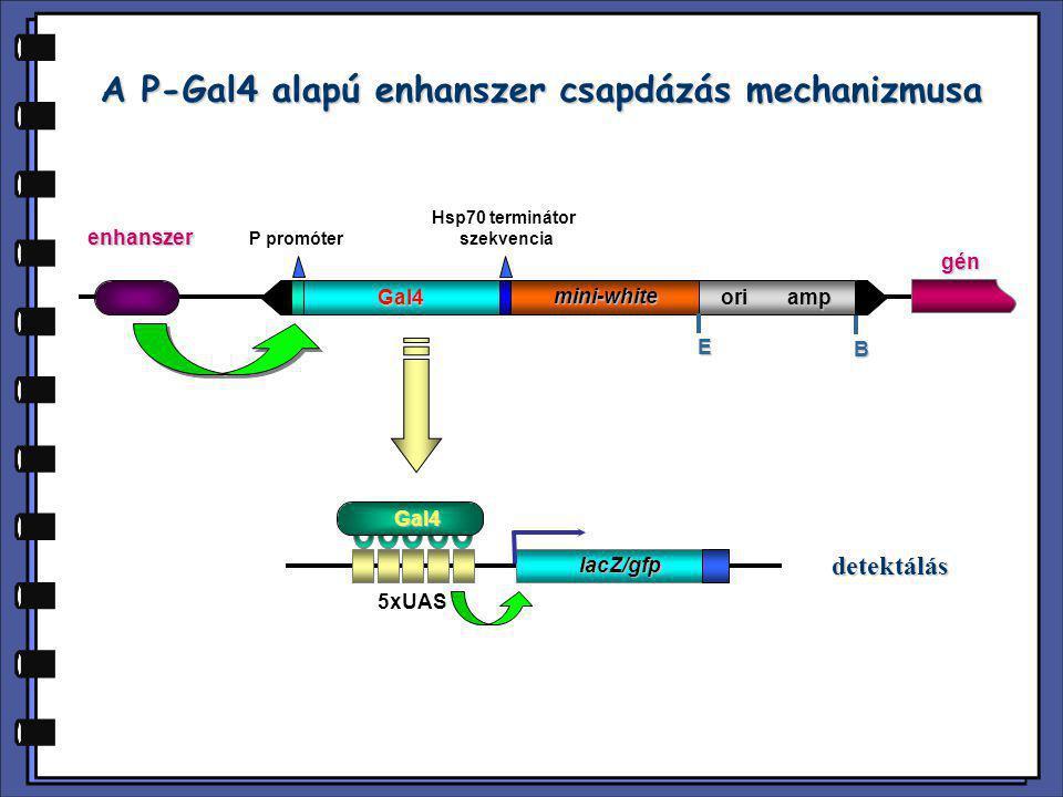 A P-Gal4 alapú enhanszer csapdázás mechanizmusa