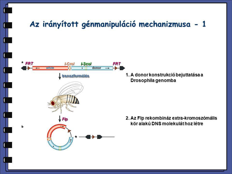 Az irányított génmanipuláció mechanizmusa - 1
