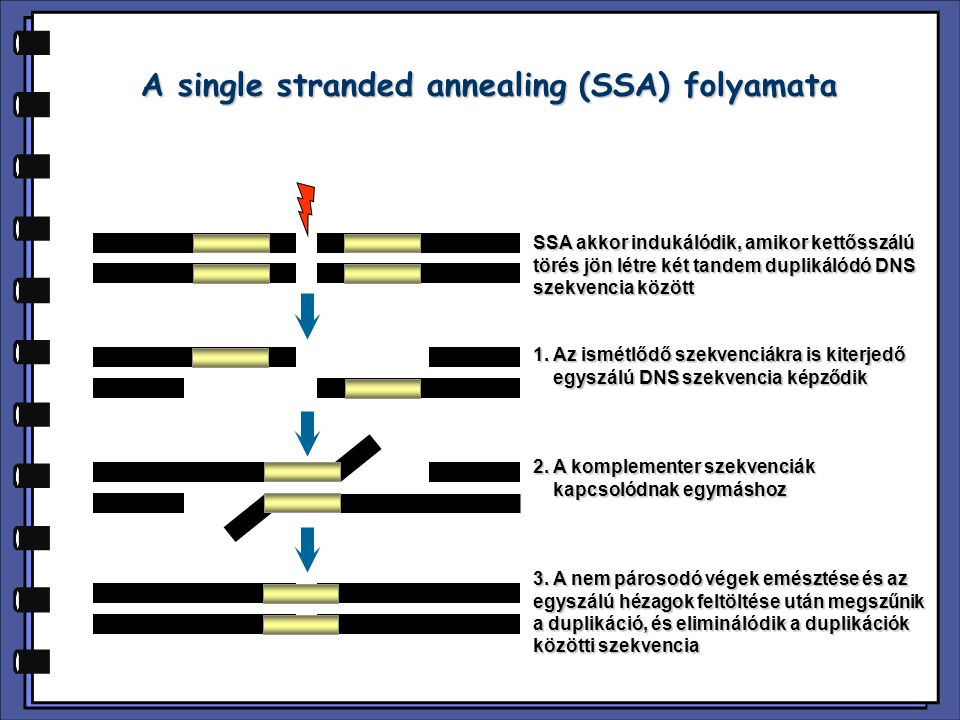 A single stranded annealing (SSA) folyamata