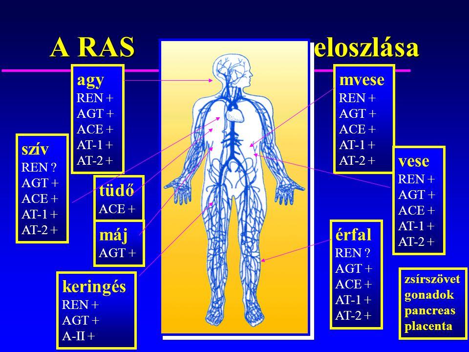 A RAS eloszlása agy mvese szív vese tüdő máj érfal keringés REN +