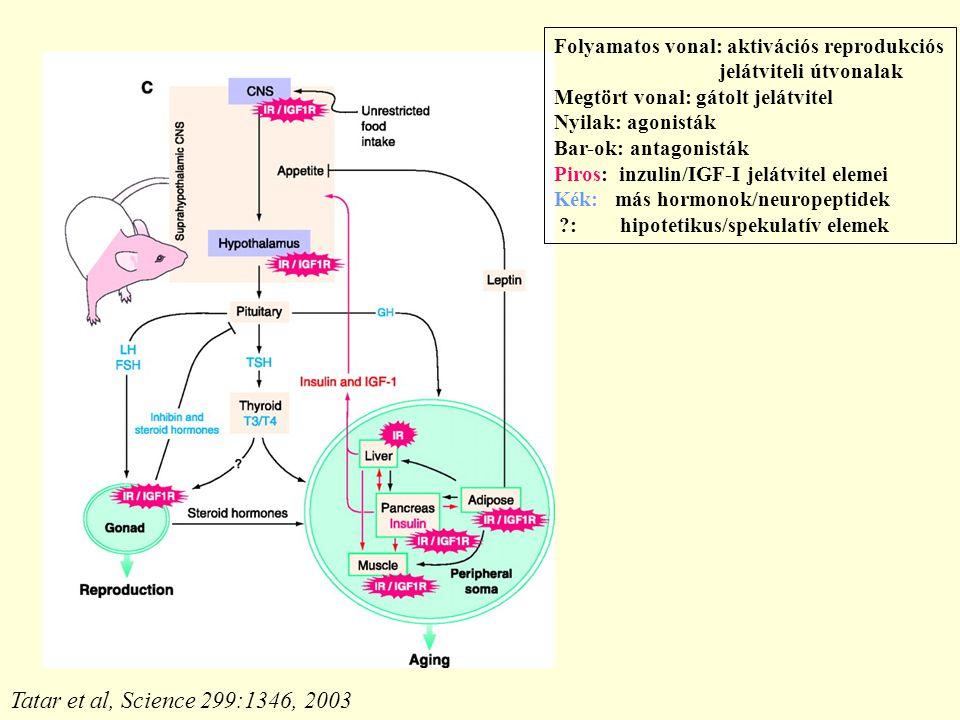 Folyamatos vonal: aktivációs reprodukciós jelátviteli útvonalak