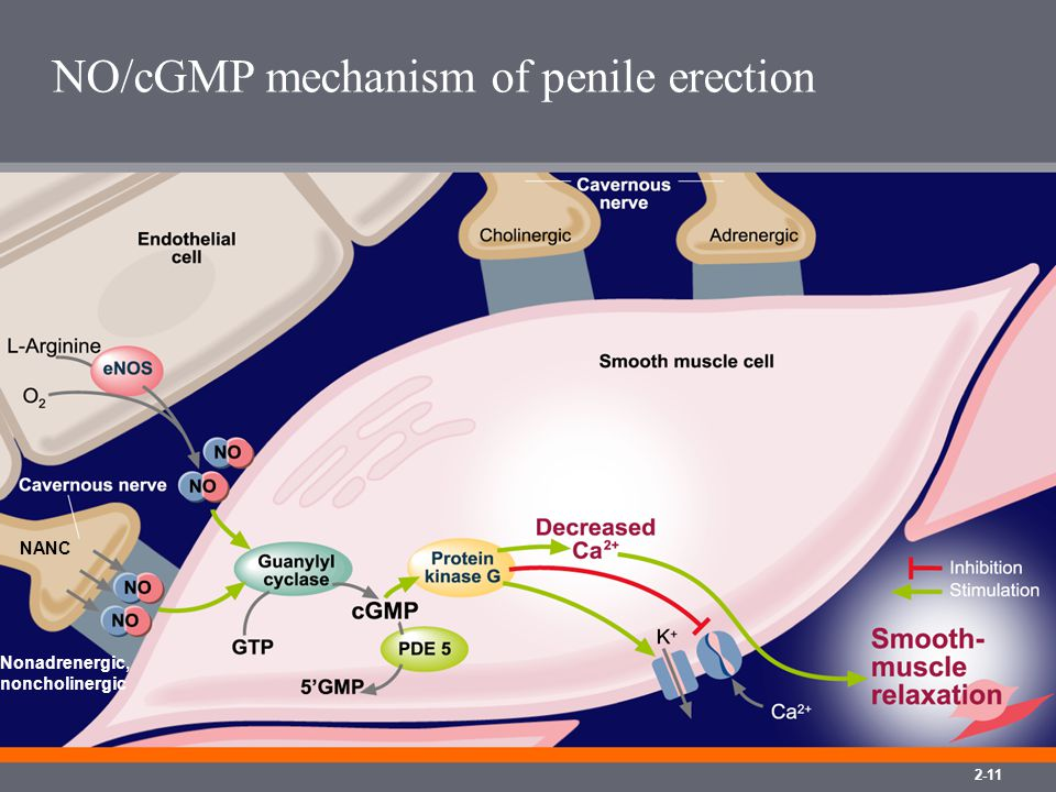 NO/cGMP mechanism of penile erection