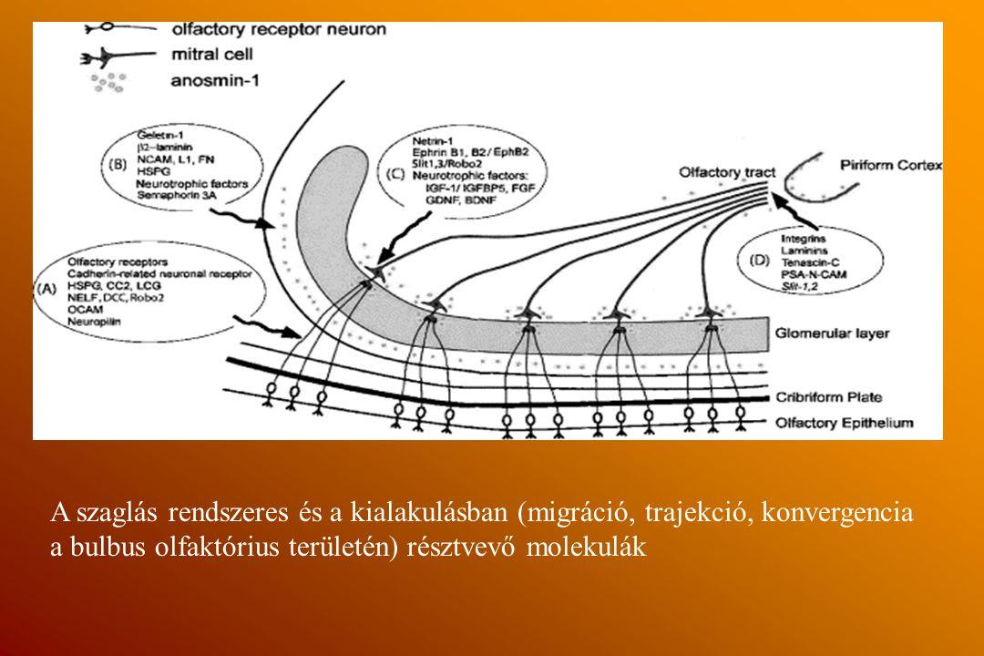 A szaglás rendszeres és a kialakulásban (migráció, trajekció, konvergencia a bulbus olfaktórius területén) résztvevő molekulák