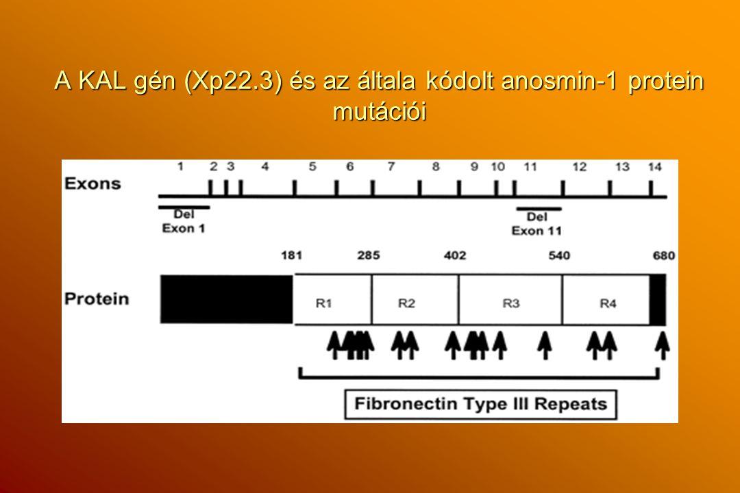 A KAL gén (Xp22.3) és az általa kódolt anosmin-1 protein mutációi