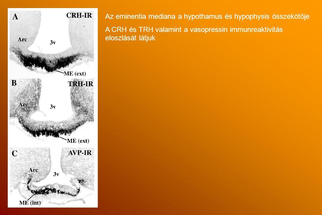 Az eminentia mediana a hypothamus és hypophysis összekötője