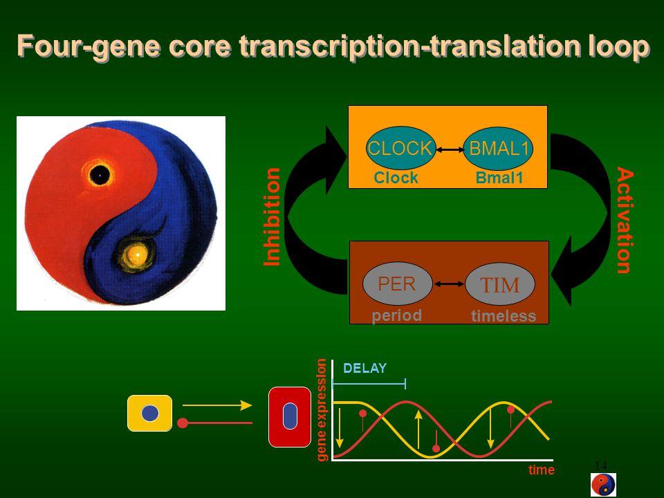 Four-gene core transcription-translation loop