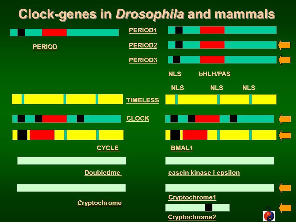 Clock-genes in Drosophila and mammals