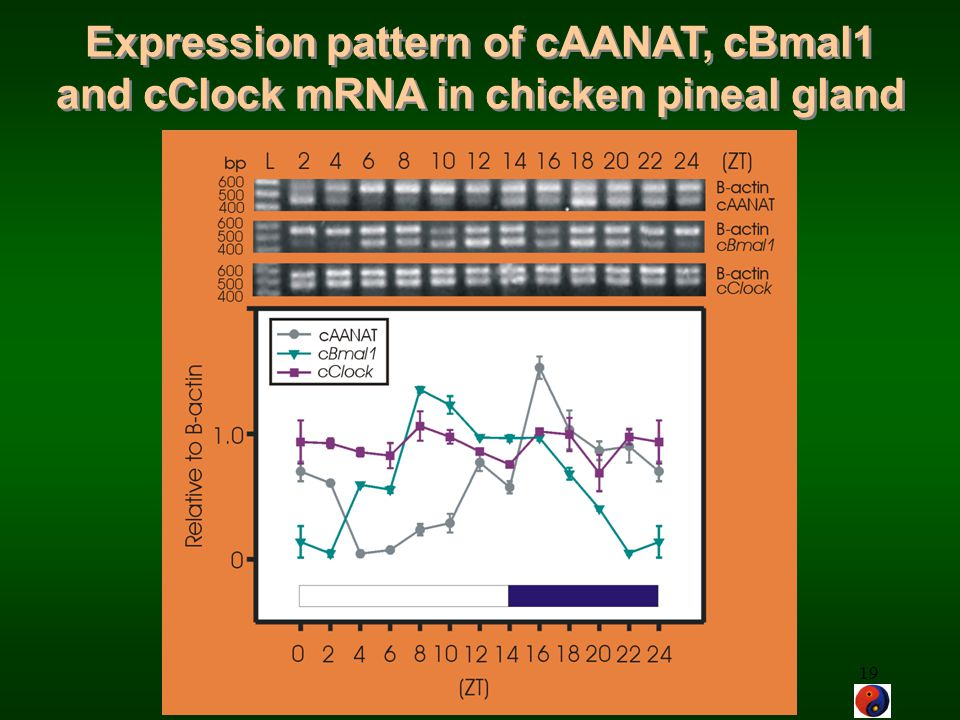 Expression pattern of cAANAT, cBmal1 and cClock mRNA in chicken pineal gland