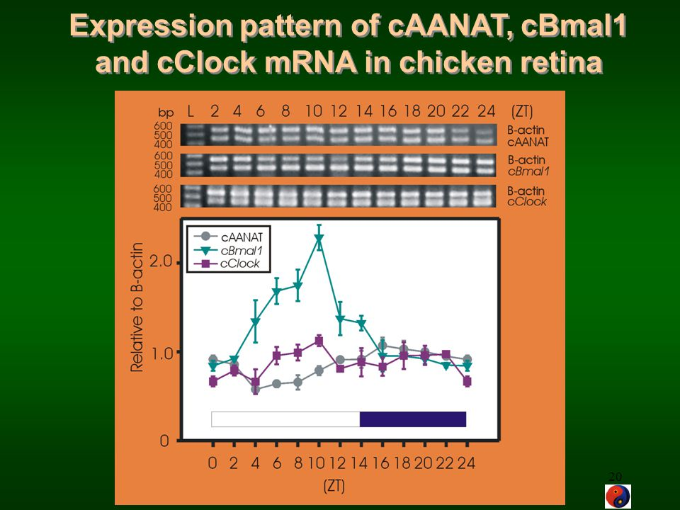 Expression pattern of cAANAT, cBmal1 and cClock mRNA in chicken retina