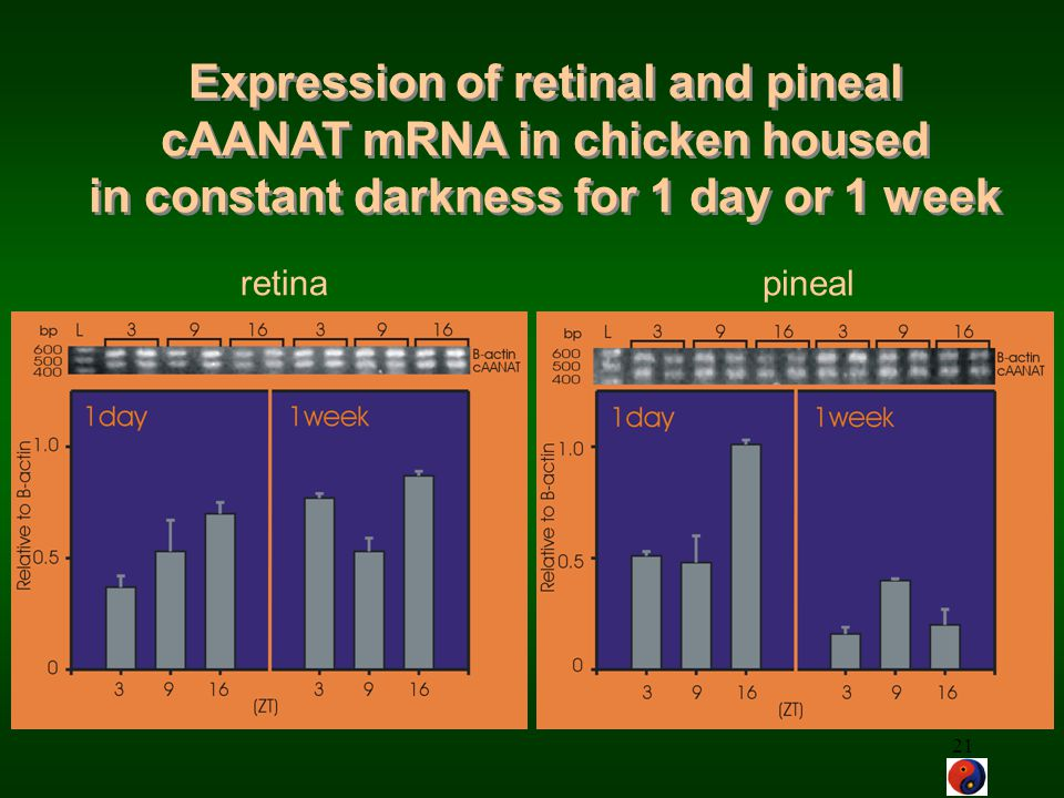 Expression of retinal and pineal cAANAT mRNA in chicken housed in constant darkness for 1 day or 1 week
