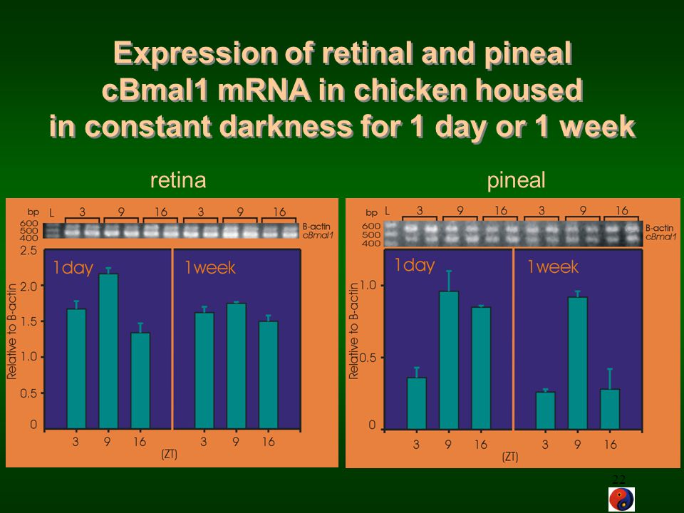Expression of retinal and pineal cBmal1 mRNA in chicken housed in constant darkness for 1 day or 1 week
