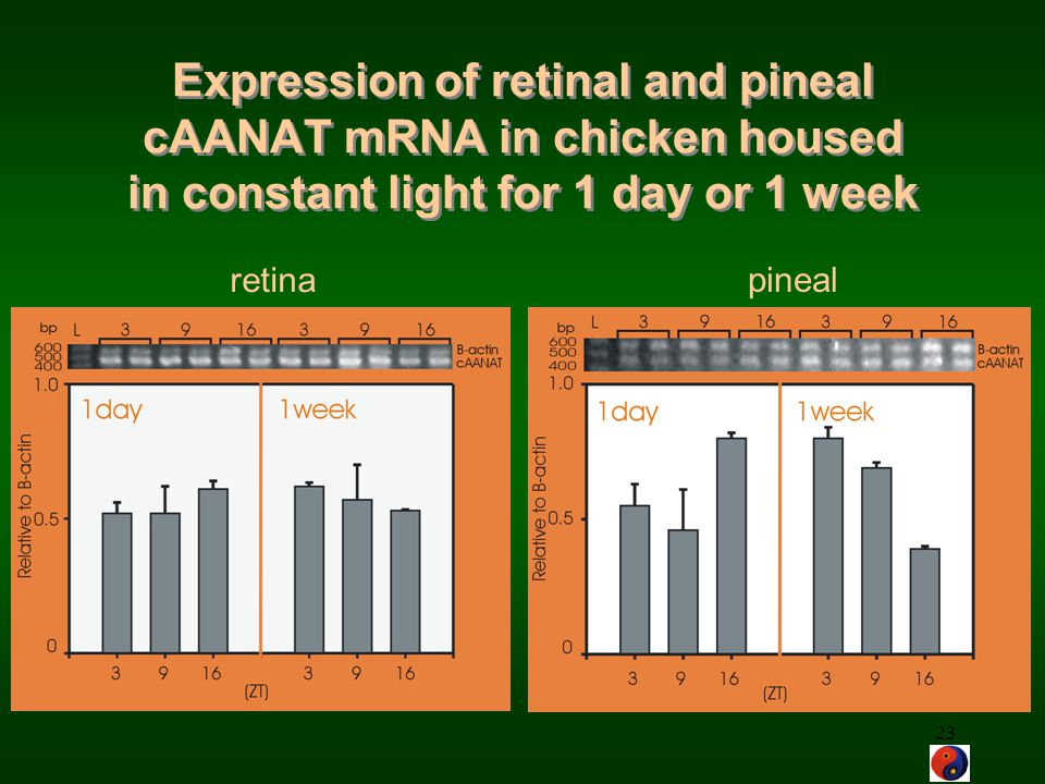 Expression of retinal and pineal cAANAT mRNA in chicken housed in constant light for 1 day or 1 week