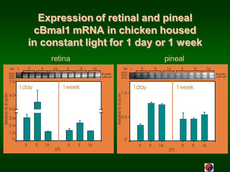 Expression of retinal and pineal cBmal1 mRNA in chicken housed in constant light for 1 day or 1 week