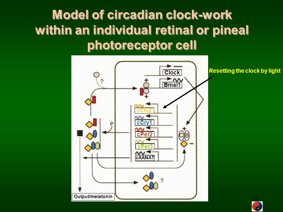 Model of circadian clock-work within an individual retinal or pineal photoreceptor cell