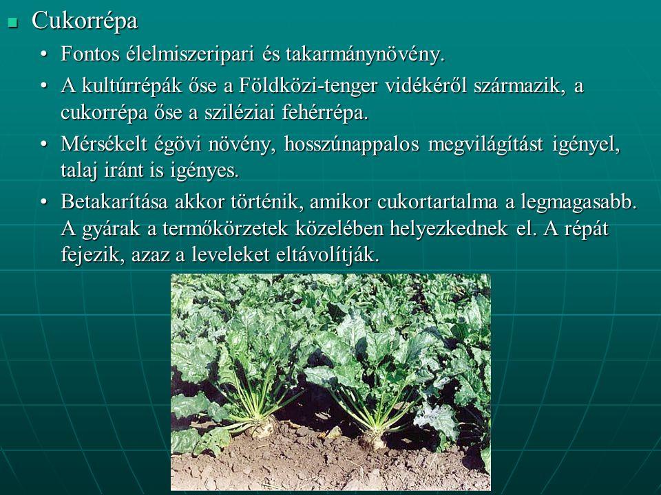 Cukorrépa Fontos élelmiszeripari és takarmánynövény.
