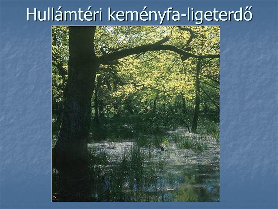 Hullámtéri keményfa-ligeterdő